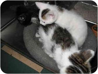 Domestic Shorthair Kitten for adoption in South Lake Tahoe, California - Star