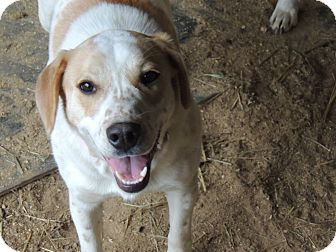 Beagle/Hound (Unknown Type) Mix Puppy for adoption in Spring Valley, New York - Lily