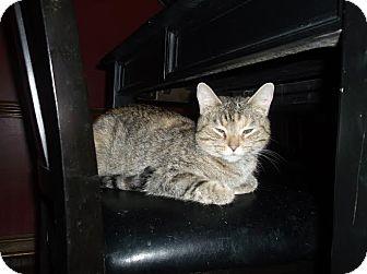 Domestic Shorthair Cat for adoption in Columbus, Ohio - Sadie