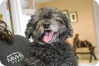Miniature Poodle Dog for adoption in Twin Falls, Idaho - Bubba