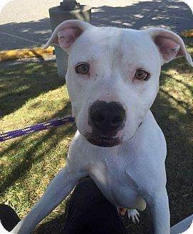 American Staffordshire Terrier/Boxer Mix Dog for adoption in Troy, Michigan - Powder