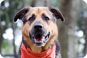 German Shepherd Dog Mix Dog for adoption in Odessa, Florida - Mister