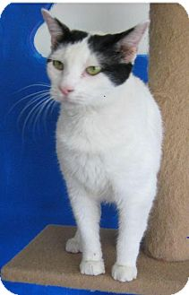 Domestic Shorthair Cat for adoption in Ada, Oklahoma - Jitterbug