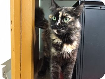 Domestic Longhair Cat for adoption in Diamond Springs, California - Ahri