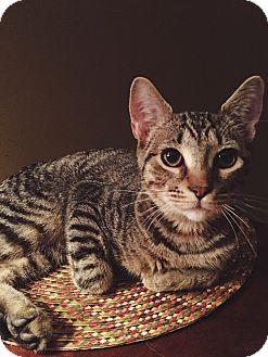 Domestic Mediumhair Kitten for adoption in Statesville, North Carolina - Archer