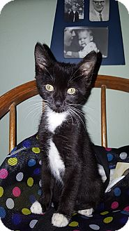 Domestic Shorthair Kitten for adoption in Tampa, Florida - Belkin