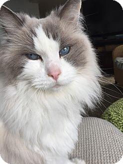 Ragdoll Cat for adoption in El Dorado Hills, California - Buddy