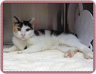 Domestic Shorthair Cat for adoption in Marietta, Georgia - CALI