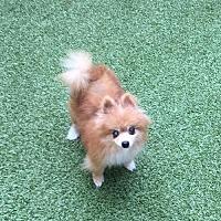 Adopt A Pet :: Sugar Galaxy - Dallas, TX