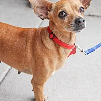 Chihuahua Dog for adoption in Austin, Texas - Sophia