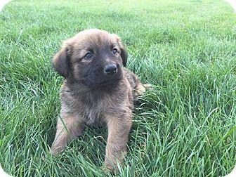 Australian Shepherd/Retriever (Unknown Type) Mix Puppy for adoption in Columbus, Ohio - Reese