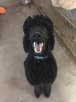 Poodle (Standard) Dog for adoption in Spartanburg, South Carolina - Lance