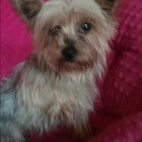 Adopt A Pet :: Amber - Millersburg, OH