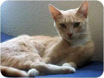 Domestic Shorthair Cat for adoption in Quail Valley, California - Peaches