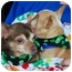 Photo 2 - Chihuahua Dog for adoption in White Settlement, Texas - Parnella AKA Ma