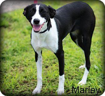 Rat Terrier/English Shepherd Mix Dog for adoption in mishawaka, Indiana - Marley