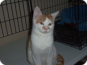 Domestic Shorthair Cat for adoption in Salem, Ohio - Baby