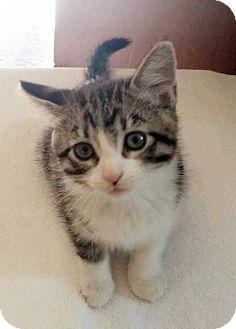 Domestic Mediumhair Kitten for adoption in Hillsboro, Illinois - Ivy