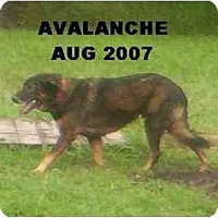 Adopt A Pet :: Avalanche - Houston, TX