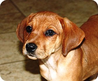 Treeing Walker Coonhound Mix Puppy for adoption in kennebunkport, Maine - Emily - PENDING, in Maine
