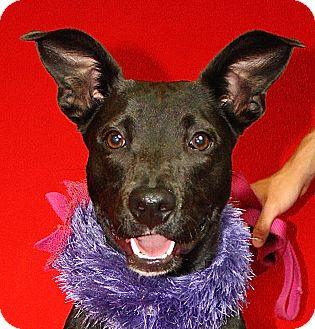 Labrador Retriever Mix Puppy for adoption in Jackson, Michigan - Star