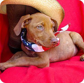 Vizsla/Pit Bull Terrier Mix Puppy for adoption in Irvine, California - Nashville