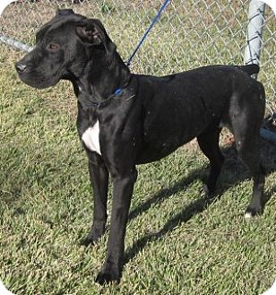 Boxer Mix Dog for adoption in Olive Branch, Mississippi - Maxine