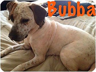 Coonhound Mix Dog for adoption in Salisbury, North Carolina - Bubba