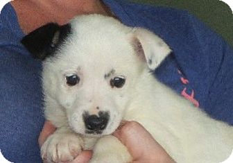 Border Collie Mix Puppy for adoption in Greenville, Rhode Island - Ona