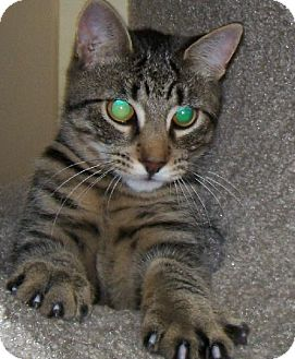 Domestic Shorthair Kitten for adoption in Island Heights, New Jersey - Ricky