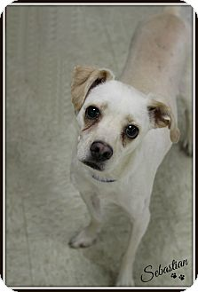 Pug/Chihuahua Mix Dog for adoption in Dunkirk, New York - Sebastian