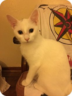 Domestic Shorthair Kitten for adoption in Delmont, Pennsylvania - Winnie