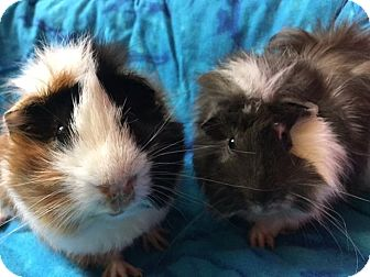 Guinea Pig for adoption in Highland, Indiana - Ashes