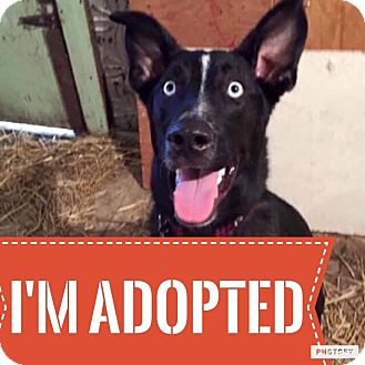 Shepherd (Unknown Type)/Husky Mix Dog for adoption in Regina, Saskatchewan - Louie