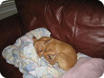Chihuahua Mix Dog for adoption in Pipe Creed, Texas - Noodle