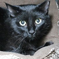 Domestic Longhair Cat for adoption in Asheville, North Carolina - Spooky