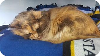 Domestic Longhair Cat for adoption in Chico, California - Callie