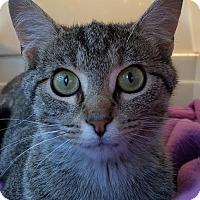 Domestic Shorthair Cat for adoption in Colfax, Iowa - Heidi