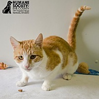 Domestic Shorthair Cat for adoption in Sandusky, Ohio - BARTLET