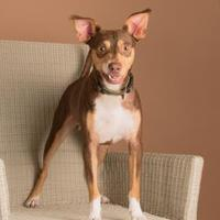 Chihuahua Mix Dog for adoption in Dallas, Texas - Snickers