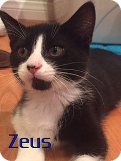 Domestic Shorthair Kitten for adoption in Anaheim Hills, California - Zeus