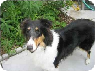 Collie Dog for adoption in Gardena, California - Lady