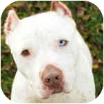 American Bulldog/American Pit Bull Terrier Mix Dog for adoption in Peoria, Illinois - Ice