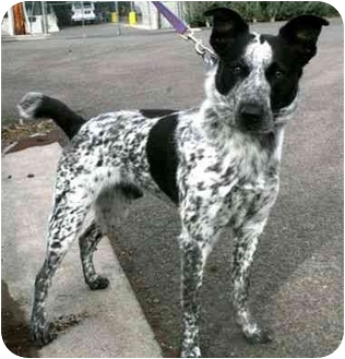 Blue Heeler Mix Dog for adoption in Phoenix, Oregon - Flicker