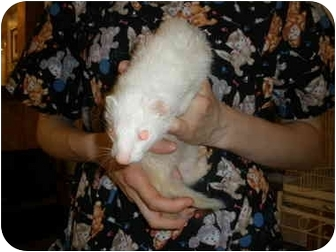 Ferret for adoption in Broadway, New Jersey - Blizzard