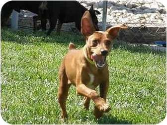 Miniature Pinscher Dog for adoption in Meridian, Idaho - Ricky