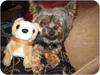 Yorkie, Yorkshire Terrier Dog for adoption in Worcester, Massachusetts - Cindy