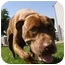 Photo 2 - American Pit Bull Terrier Dog for adoption in Meridian, Idaho - Bruno
