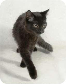 Domestic Shorthair Cat for adoption in Las Vegas, Nevada - Hagen