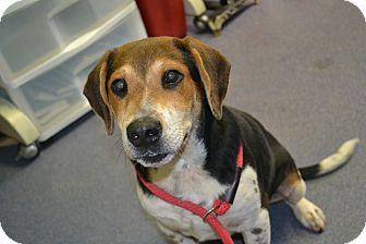 Hound (Unknown Type)/Beagle Mix Puppy for adoption in Edwardsville, Illinois - Monte